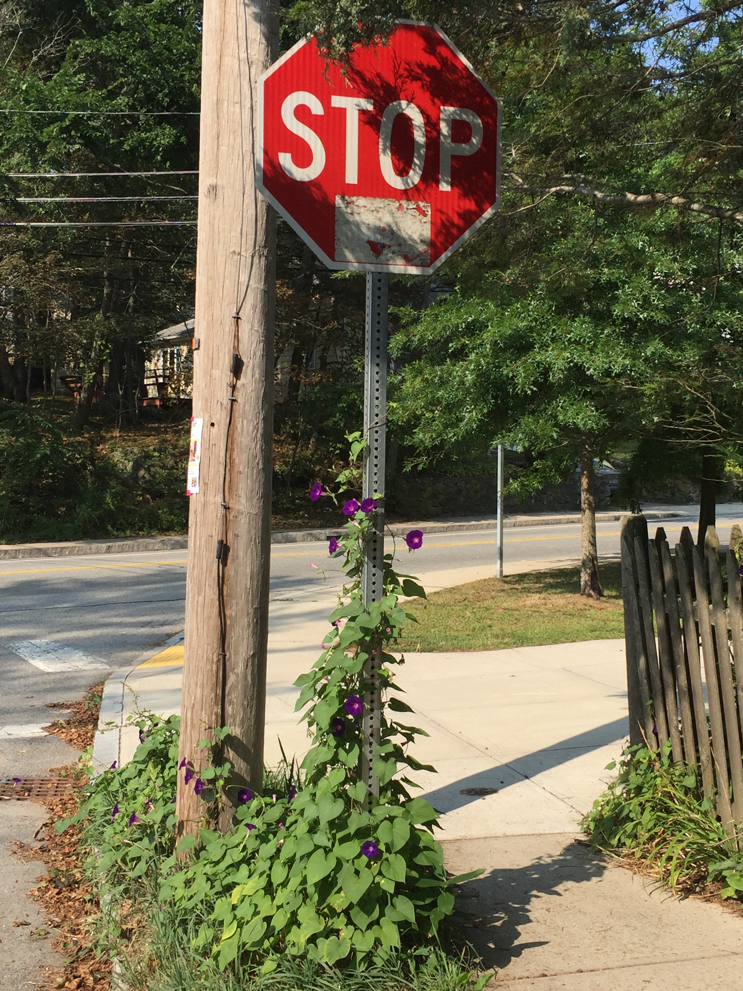 Stop Sign with Morning Glories