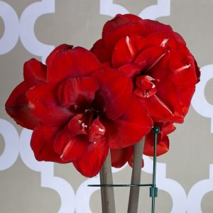 White Flower Farm Double King Amaryllis, Thank You Gifts for Your Hosts