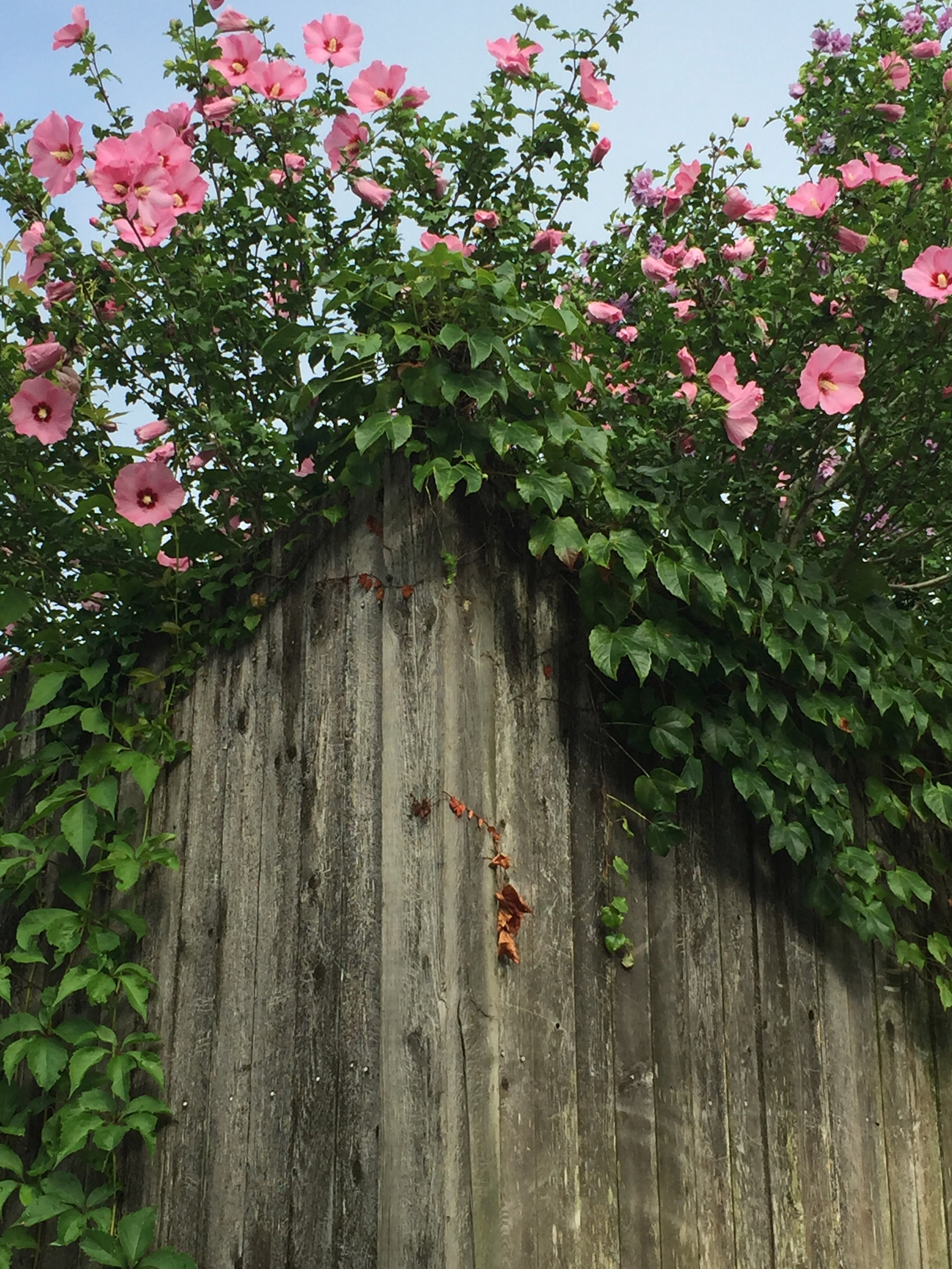 It's the Weekend, Number 68. Rose of Sharon looming high over a wood fence